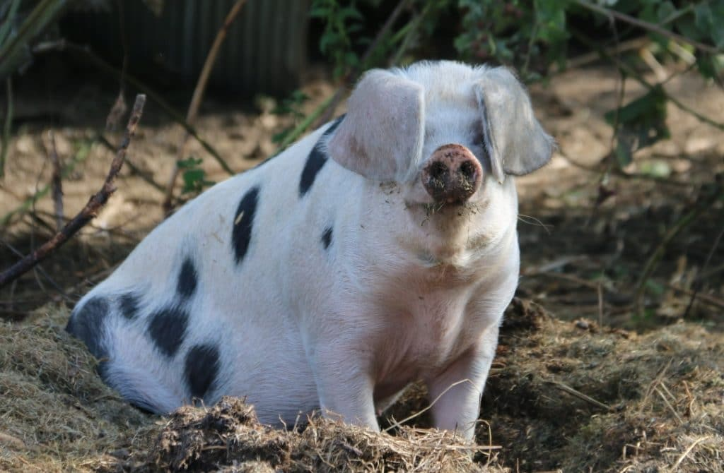 Meet Bella one of our two farmyard pigs